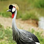 Greay Crowned Crane