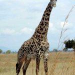 Wildlife-Giraffe-at-Mikuni
